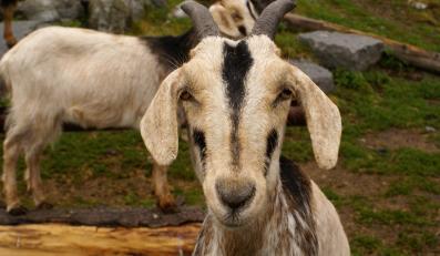 Aresztowali kozę za napady z bronią