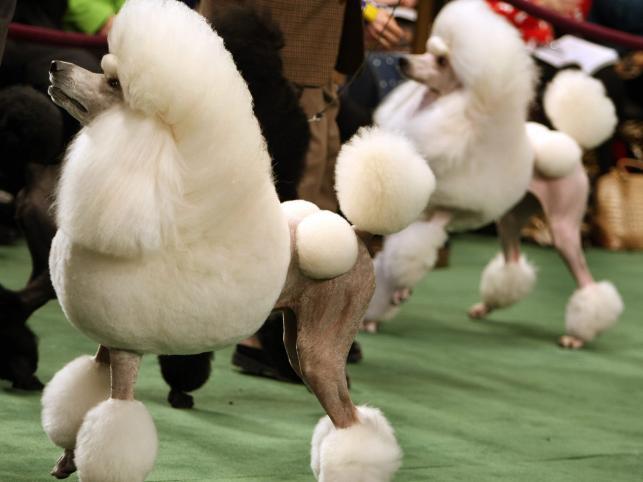 Pudle prezentują najwyższe osiągnięcia psiego fryzjerstwa