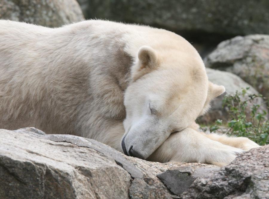 Knut podczas drzemki we wrześniu 2008 roku