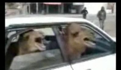 Ile wielbłądów wejdzie do auta?