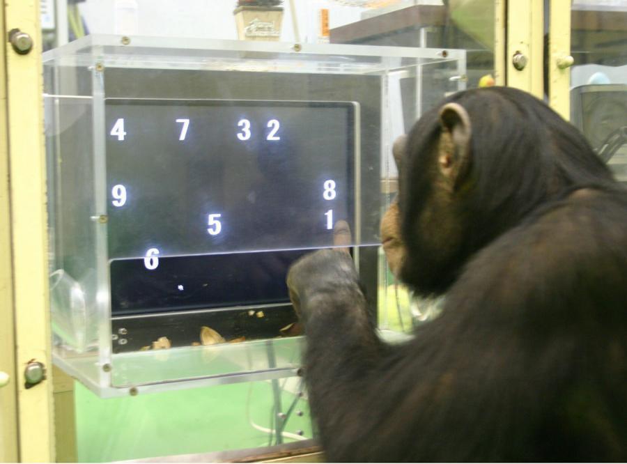 Szympansy mają lepszą pamięć od ludzi