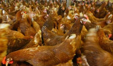 Czy przez ptasią grypę zabraknie drobiu?