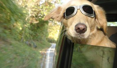 Pies wjechał samochodem do kawiarni