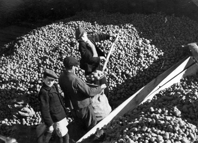 Ziemniaki mogły stanowić uzupełnienie niemal każdej potrawy – najważniejsze, że były tanie i sycące. Na zdjęciu mężczyźni napełniający worki ziemniakami, fotografia z czasów okupacji.